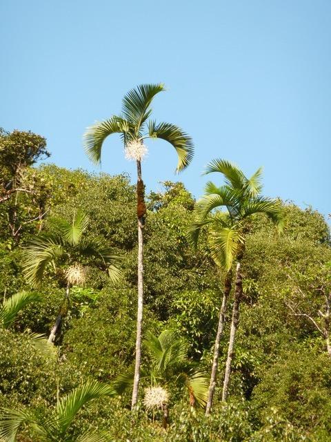 Hyophorbe indica -  Forêt d'Eden.jpeg