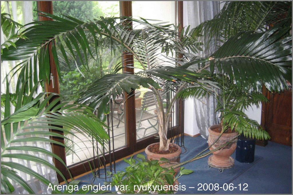 446172372_Arengaengleriryukyuensis2008-06-12.thumb.jpg.ebb8bded2af765c0004c9747aee662d0.jpg