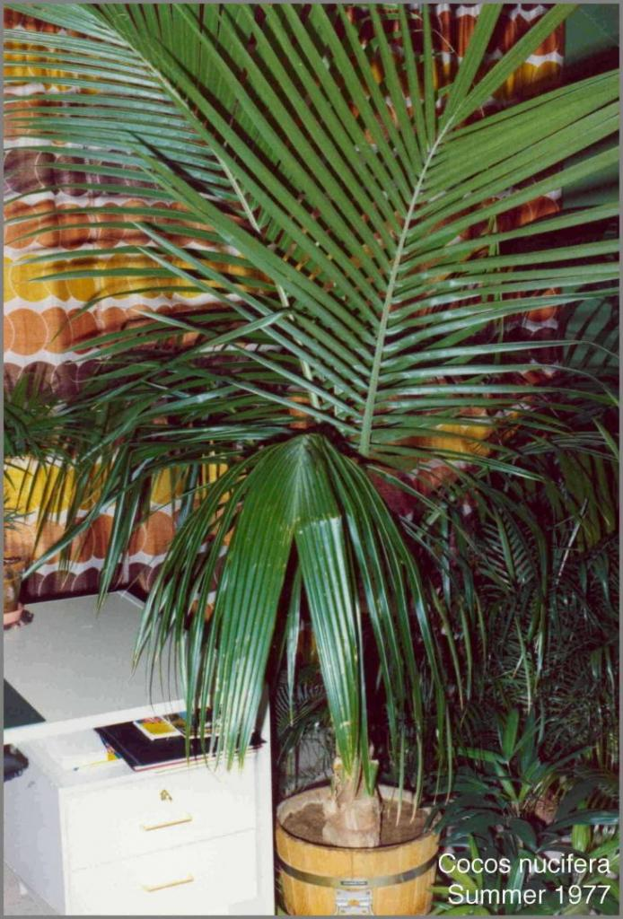 Cocos nucifera HD 1977.jpg