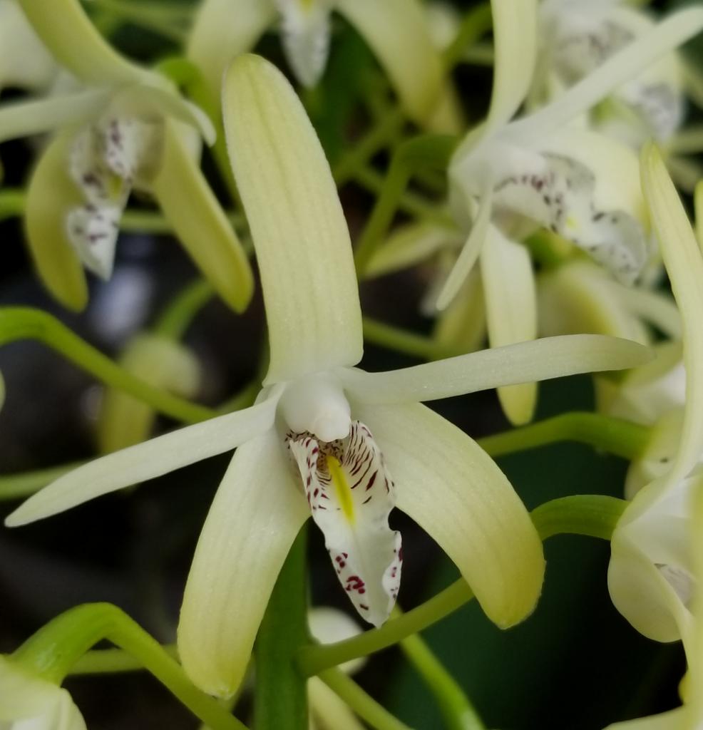 Dendrobium2.png