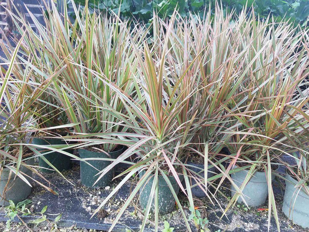 dracaena-marginata-bicolor-madagascar-dragon-tree-1001484205-1538449985.jpg