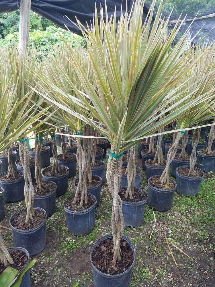 dracaena-marginata-bicolor-madagascar-dragon-tree-small-1001484207-1538450664.jpg