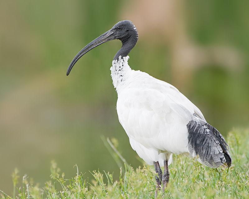 800px-Threskiornis_molucca_-_Perth.jpg.e91f0625a51ffa36290ffb07c404bab3.jpg