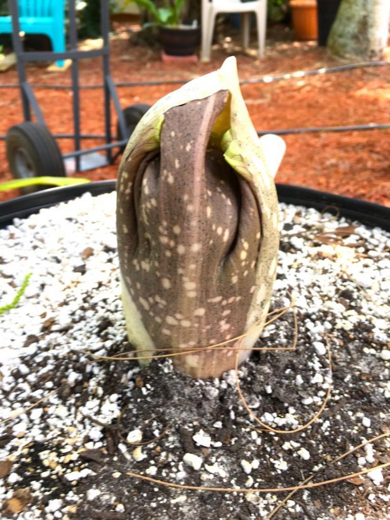 Amorphophallus_hooded_flower_01_04-30-19.thumb.JPG.22ed06835dbcb592b0a14e277cce2094.JPG