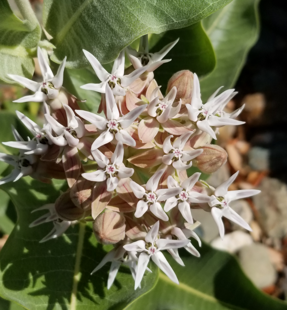 CaliforniaNativeMilkweed.png