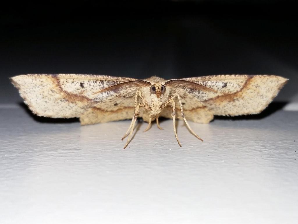 E.amoenaria.20190423-01.jpg