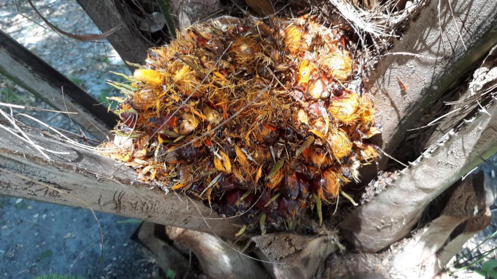 Oil_palm_ripe_seeds_1_(1).jpg
