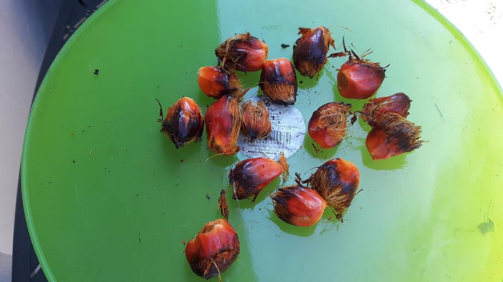 Oil_palm_ripe_seeds_1_(3).jpg