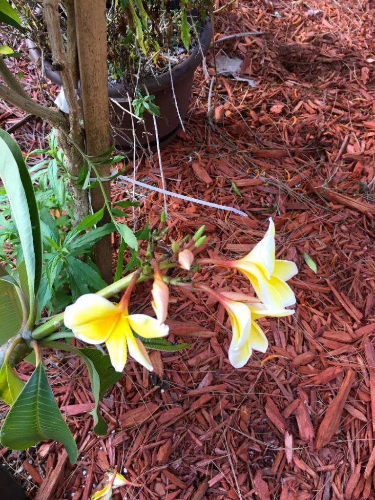 Plumeria_Yellow_02_05-04-19.thumb.JPG.1d8bea1635bf9b62e6880ecb2fe40d6b.JPG