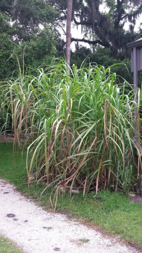 0011_20190608_094717_SMG_sugarcane_1600.jpg