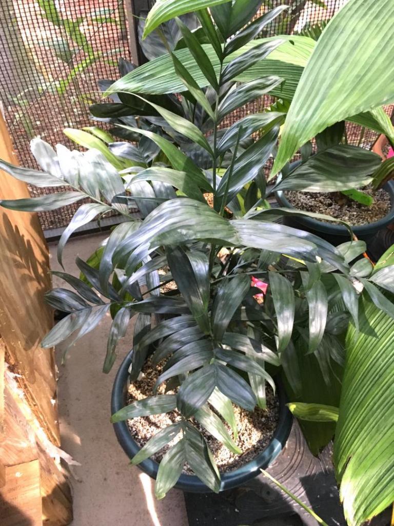 Chamaedorea_metallica_pinnate_leaf_01_09-19-19.thumb.JPG.b1a94e8f7b8dc5d68d904c847491dbbc.JPG