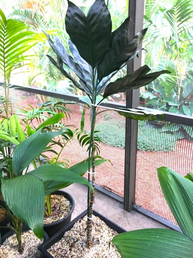 Chamaedorea_metallica_whole_leaf_01_09-19-19.thumb.JPG.adbbd0b360335a232c5376a12c476198.JPG