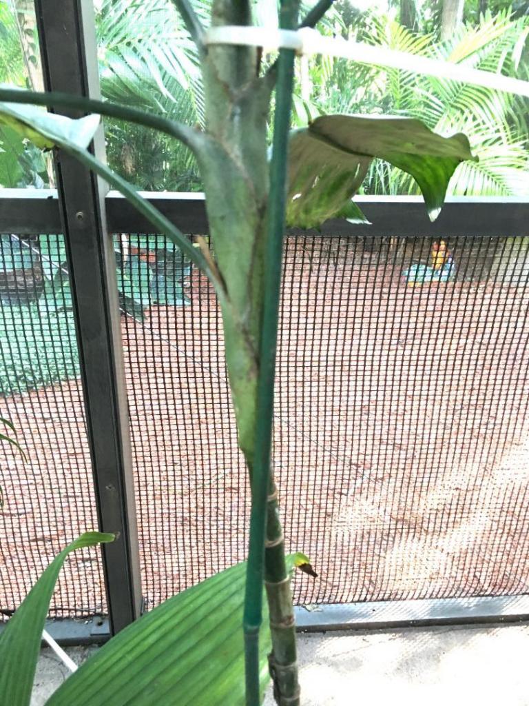 Chamaedorea_metallica_whole_leaf_03_09-19-19.thumb.JPG.8e3b1097710712dcbe92cae540d2b07b.JPG