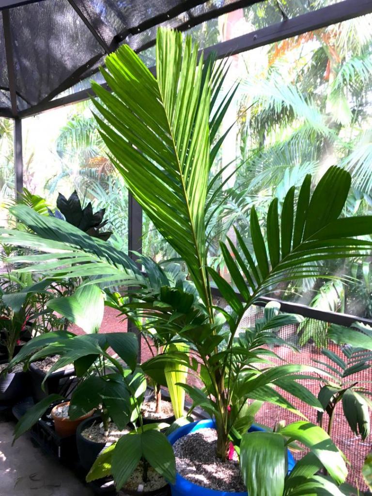 Pinanga_cochinchinensis_02_09-19-19.thumb.JPG.57106cb9824f1824858db33dd1c4306d.JPG