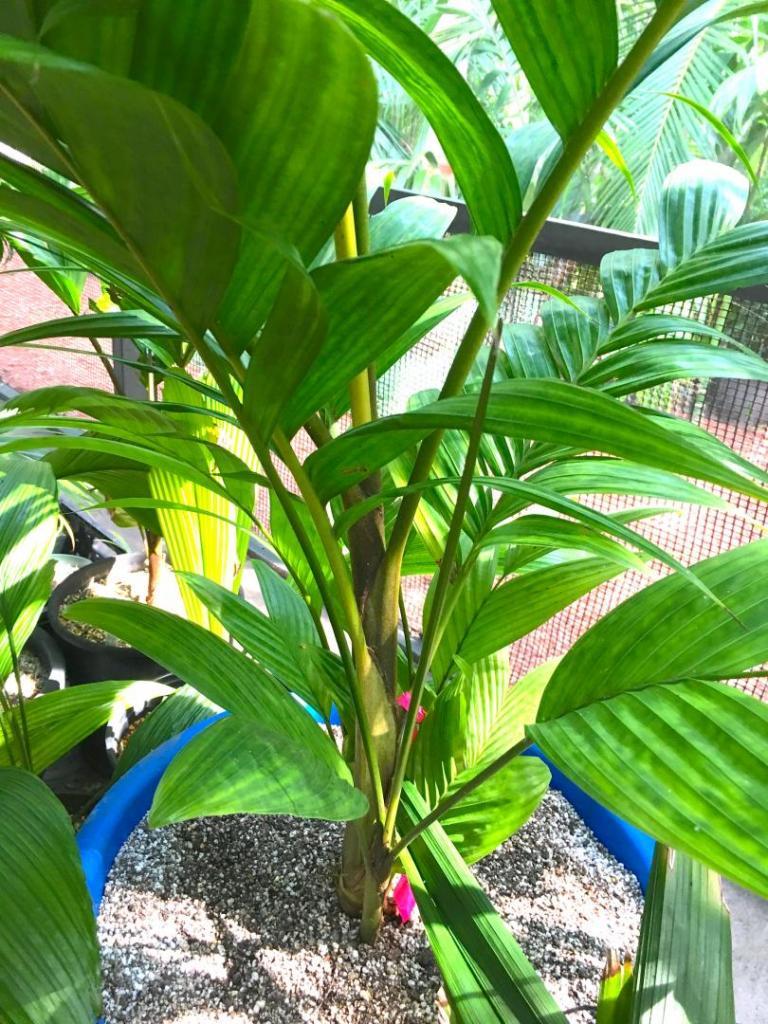 Pinanga_cochinchinensis_05_09-19-19.thumb.JPG.025d71a351089d8af944b8d34fd92eff.JPG
