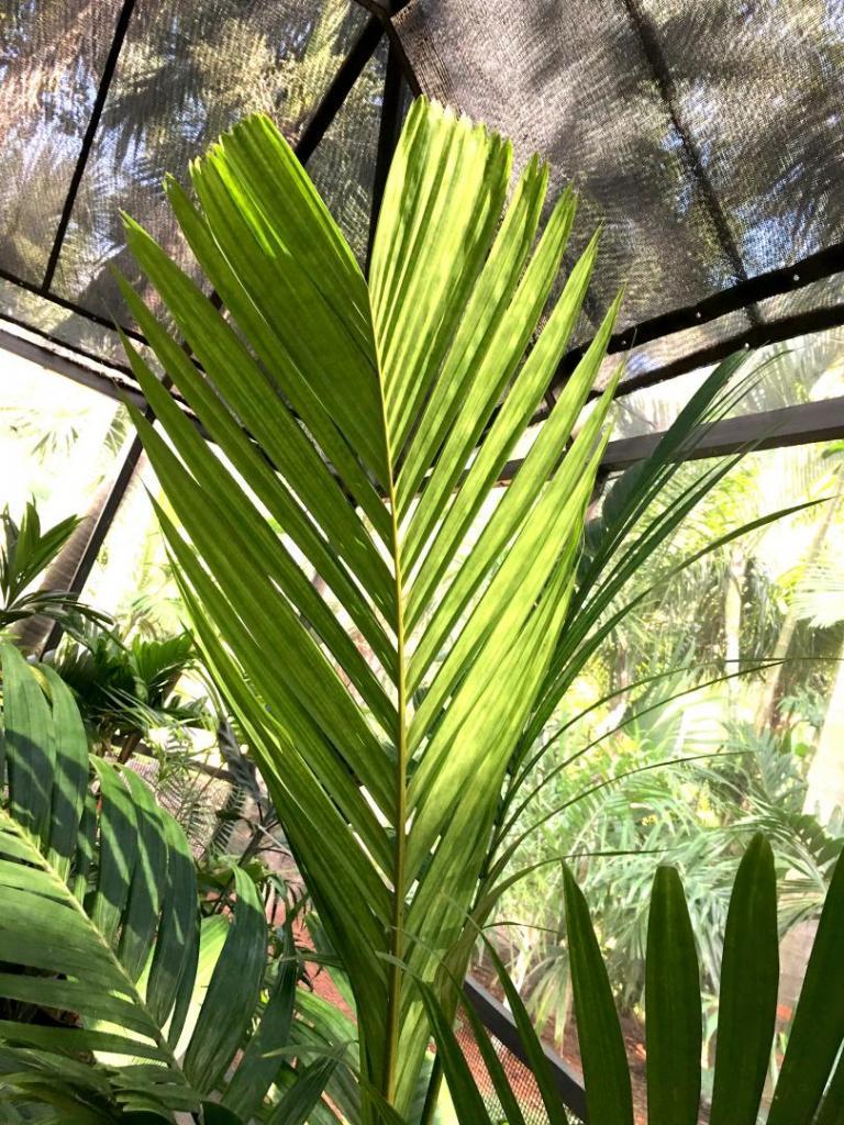 Pinanga_cochinchinensis_06_-9-19-19.thumb.JPG.b72075bd5f060540d660ffa1694e6bd4.JPG
