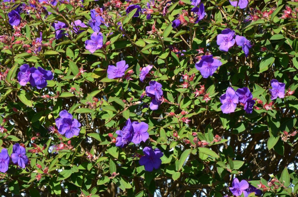 Brookings Princess Flower 2.JPG