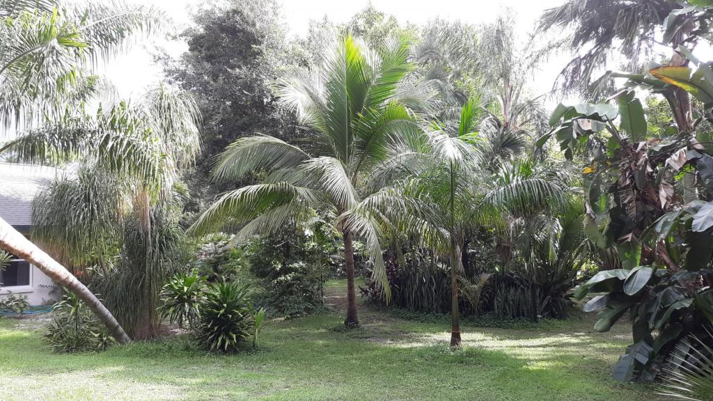 Coconut palm 10-26-19.jpg