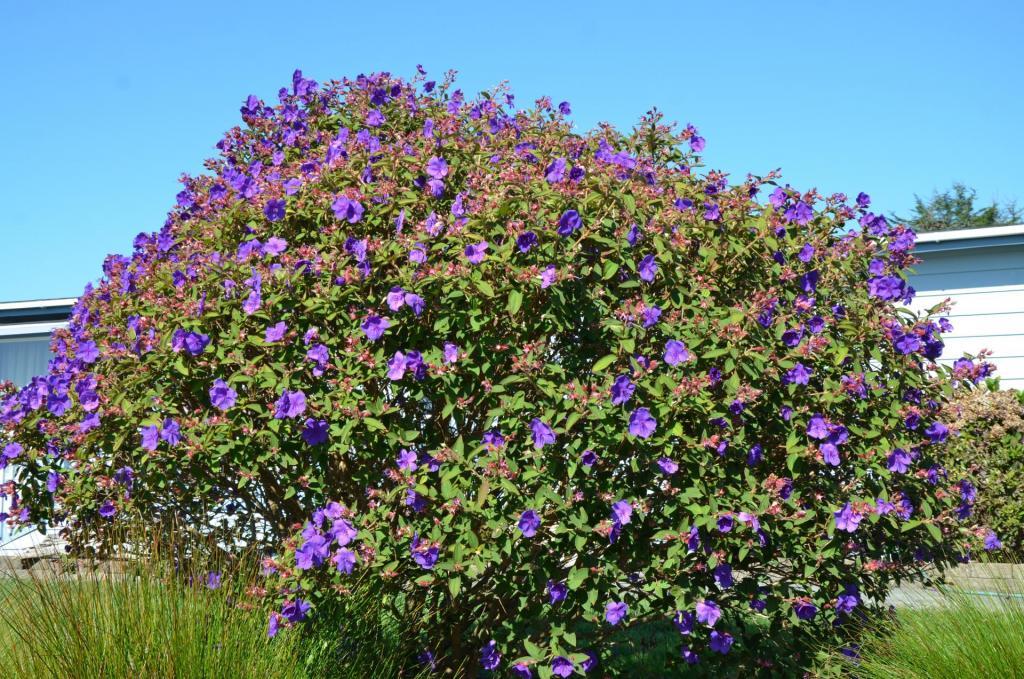 Brookings Princess Flower 1.JPG