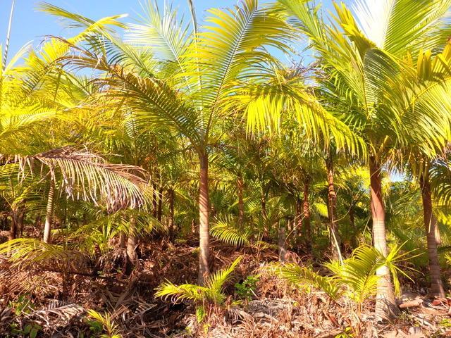 155627820_acanthophoenix-rubra---plantations---saint-philippe_47966520936_ocopy.jpeg.bd700d7a4fa1c1d24eaf38ffef867d02.jpeg