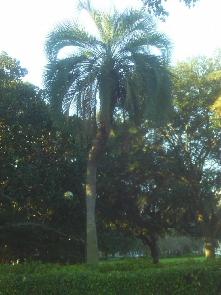 1775382831_CurvedButiaAtMemorialPark-JacksonvilleFl_2014.thumb.JPG.767654669a16ba0099c1c0d42df047c4.JPG