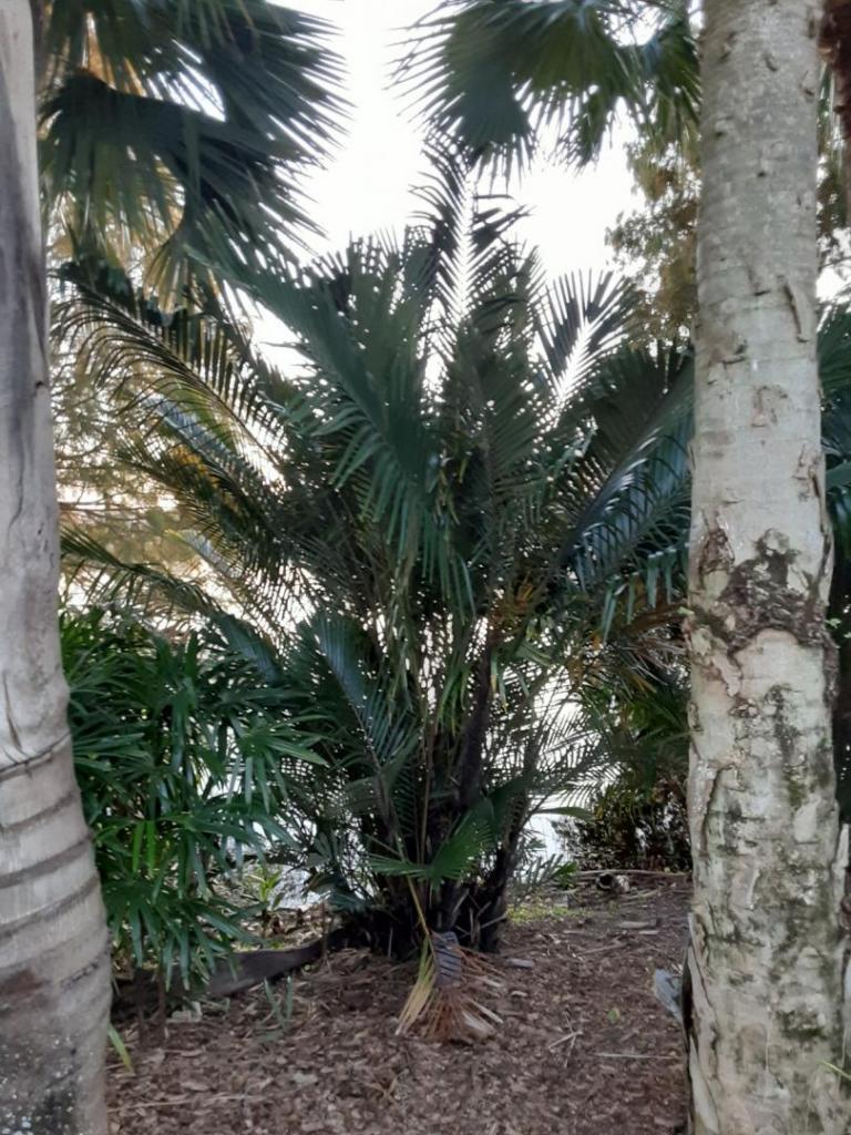 0001_Arenga_engleri_Formosa_Palm.jpg