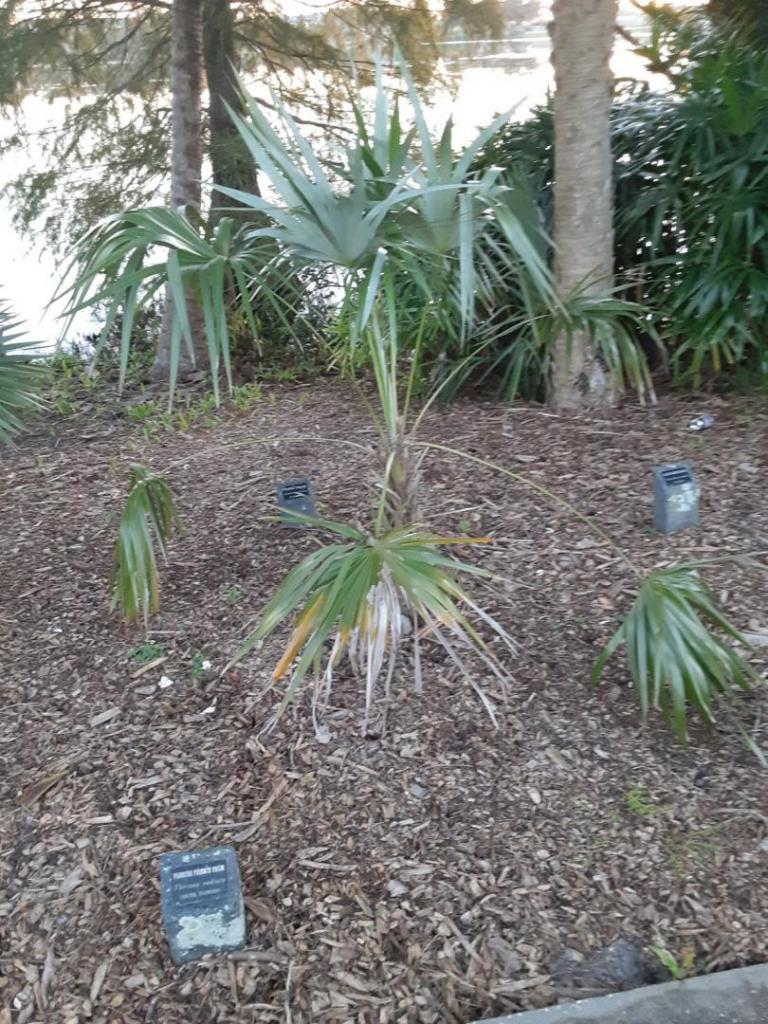 0007_Thrinax_radiata_Florida_Thatch_Palm.jpg