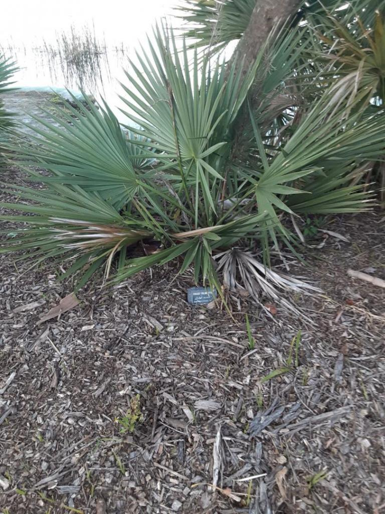 0010_Sabal_minor_Dwarf_Palmetto.jpg