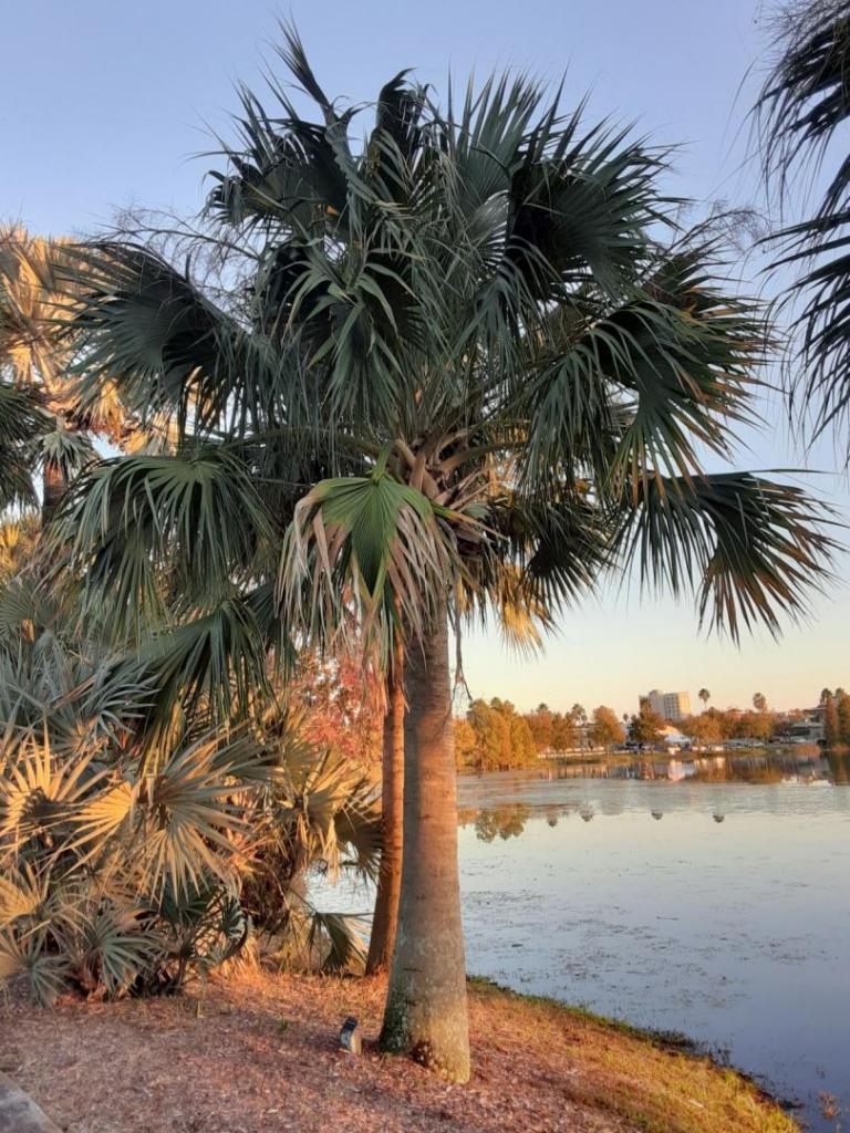 0012_Sabal_domingensis_Hispaniola_Palmetto_Palm.jpg