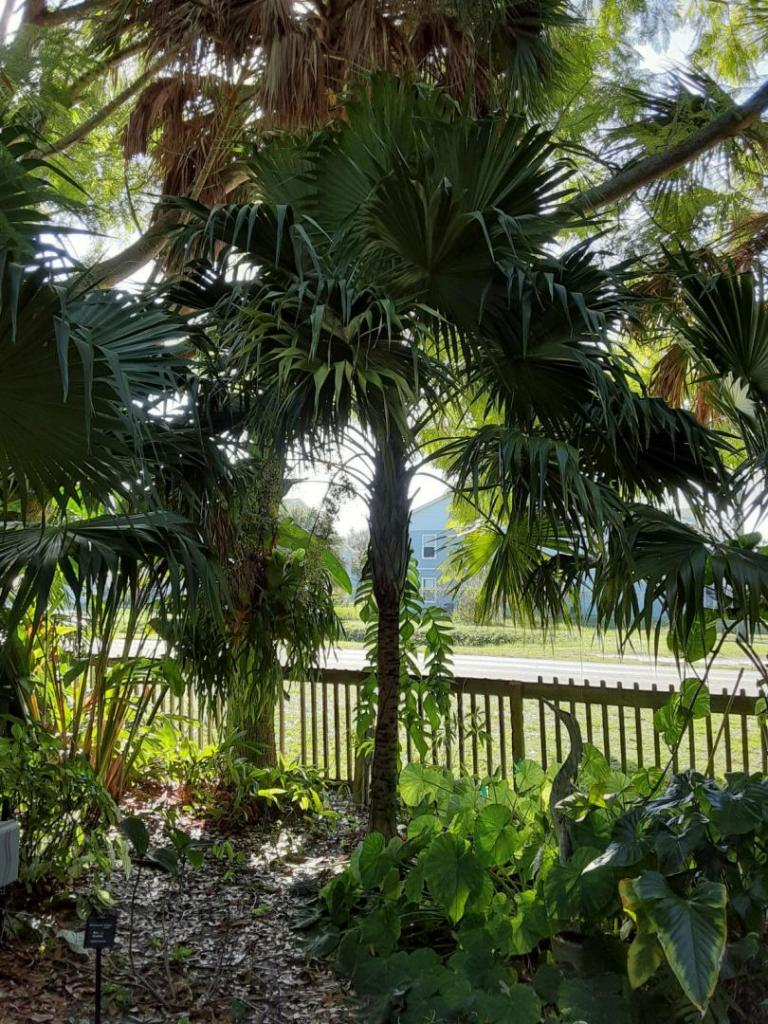 20191201_101737_Florida_Thatch_Palm_01.jpg