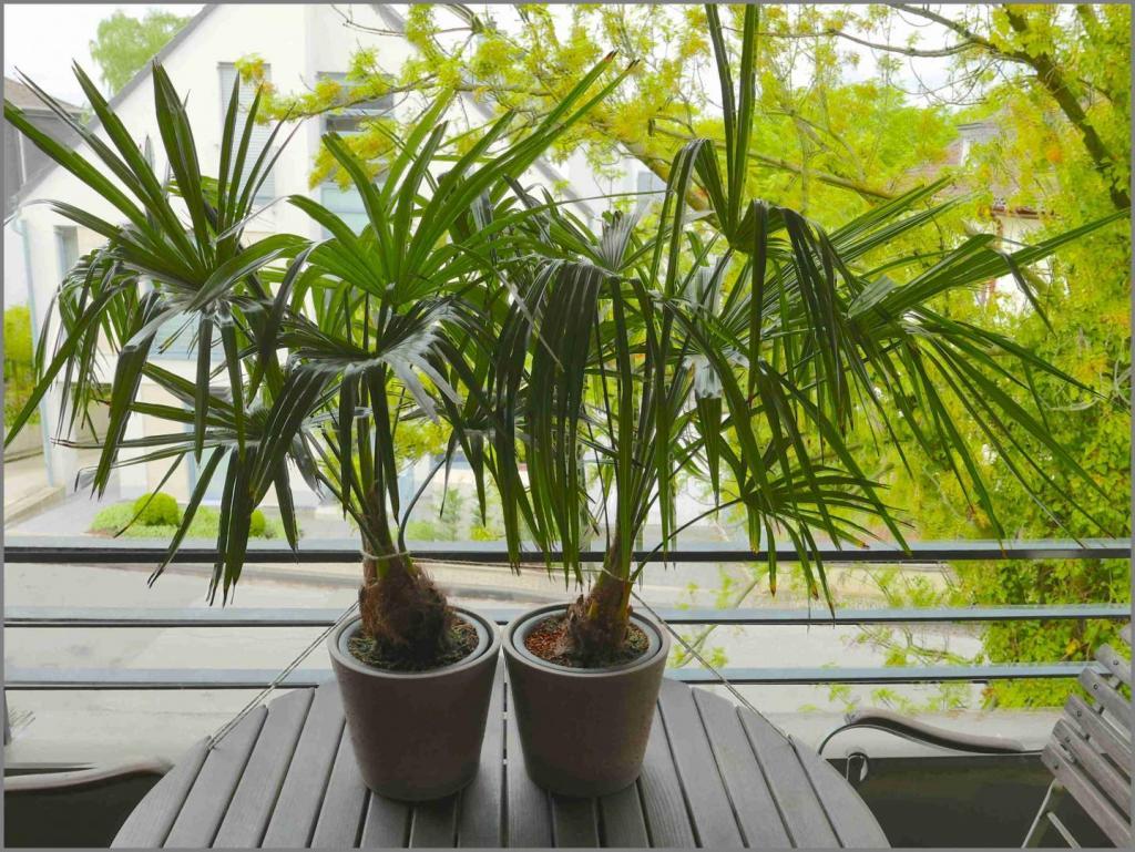 1175572030_Trachycarpusfortunei2015-05-04.thumb.jpg.201da13e27ccce6f5293748cbe12c250.jpg