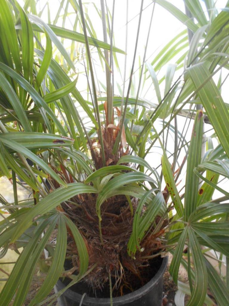 Rhapidophyllum7g#2.JPG