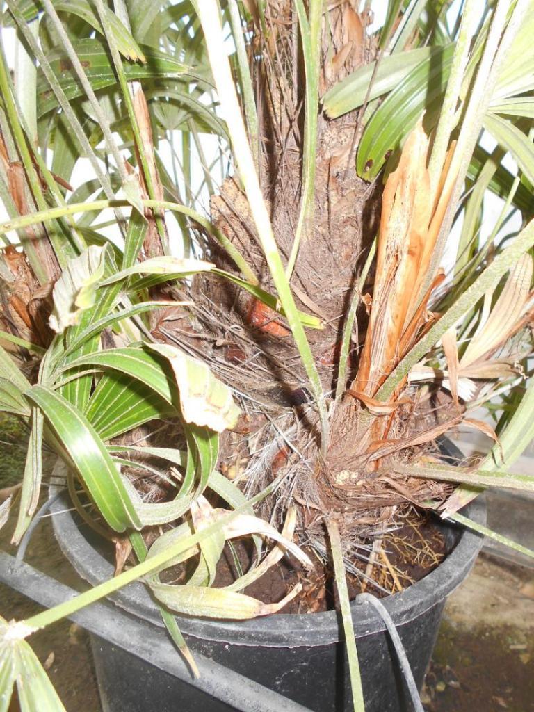 Rhapidophyllum7gclose-up.JPG