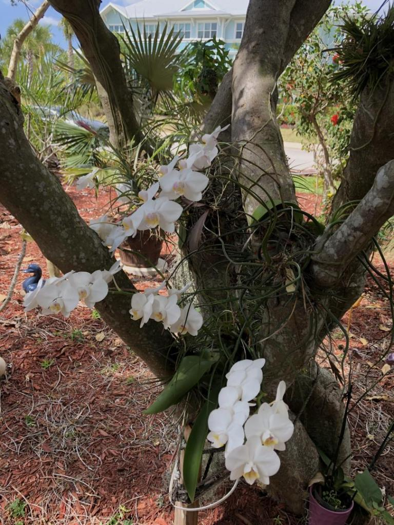 1902059150_Phalaenopsisorchidsinspinachtree0103-22-20.thumb.JPG.e702166e3304b3c816629e905c96ff3c.JPG