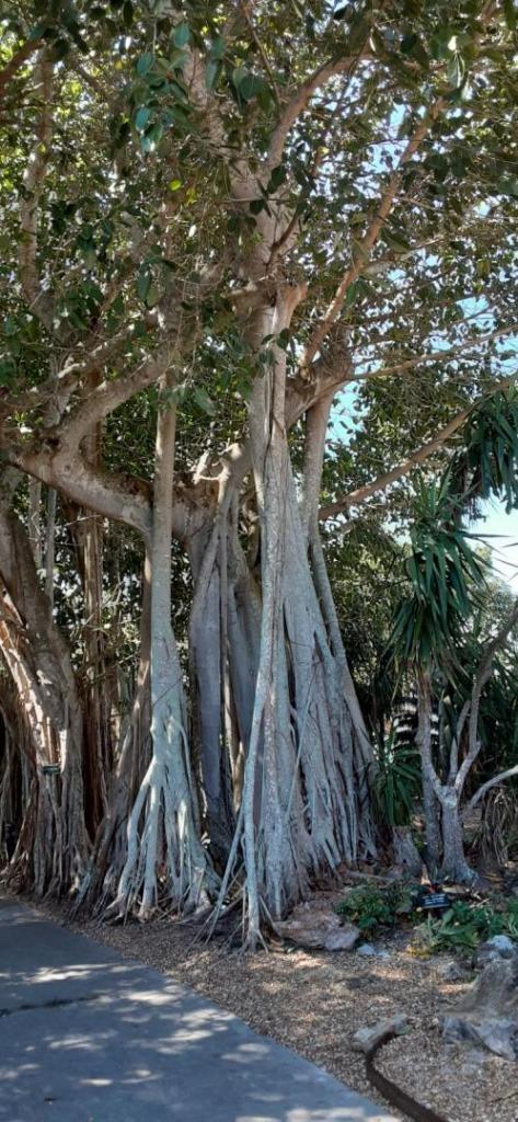 20200307_110356_Ficus_altissima_01.jpg