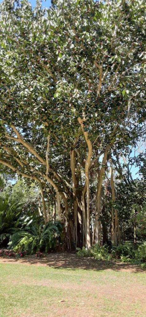 20200307_111700_Ficus_benghalensis.jpg