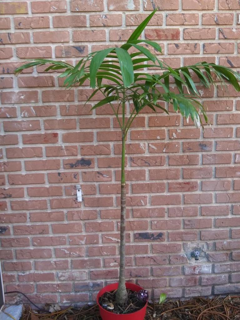 NOID Palm species small 4-20.jpg