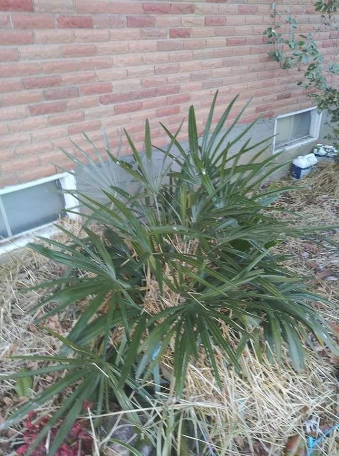 hamilton co needle palm winter 1.jpg