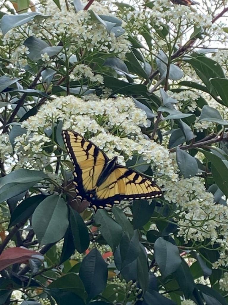 tiger swallowtail2.jpg