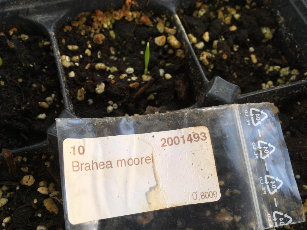 Brahea Moorei seedling.JPG