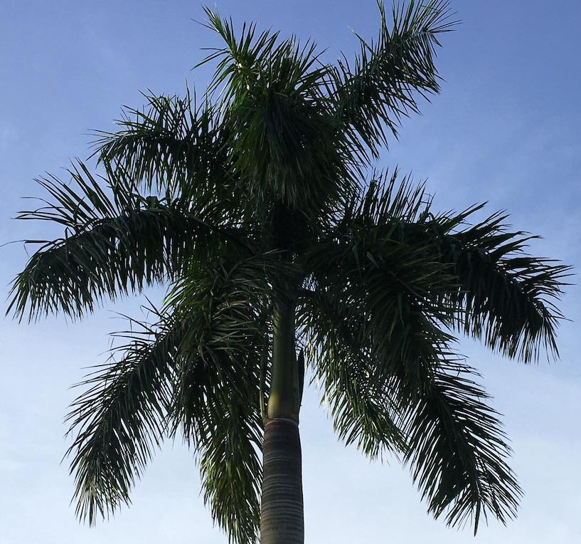 Royal Palm Blooming 2020 07 11.jpg