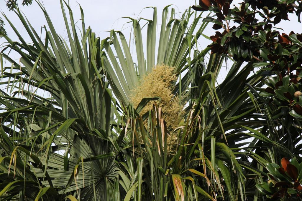 Mauritiiformis_in_flower2020.jpg