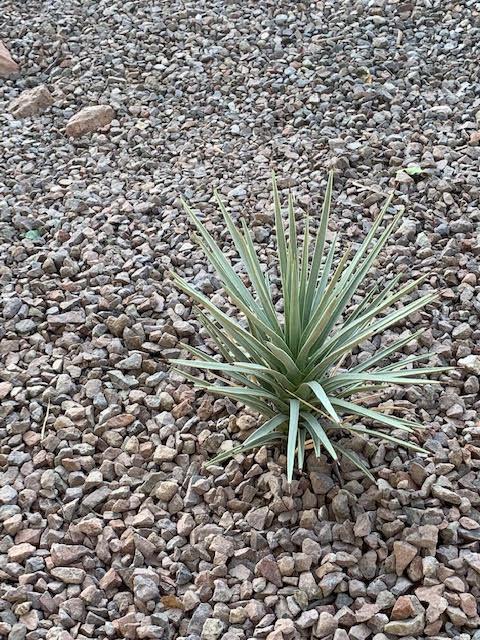 Yucca_brevifolia.jpg.c4f032c6735111d09bf3af84a4e48d59.jpg
