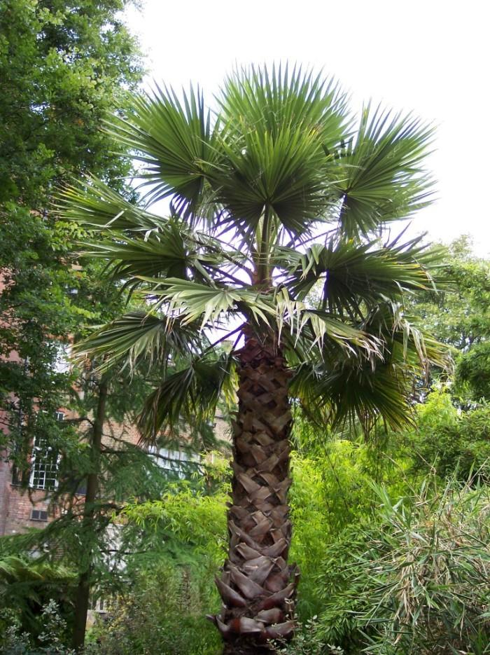 Washingtonia.jpg.0515ba54b732adaa2e0574ce7e287535.jpg