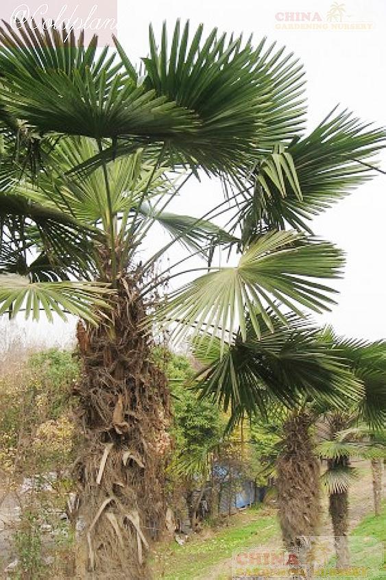 trachycarpus_fortunei_tesan122.jpg