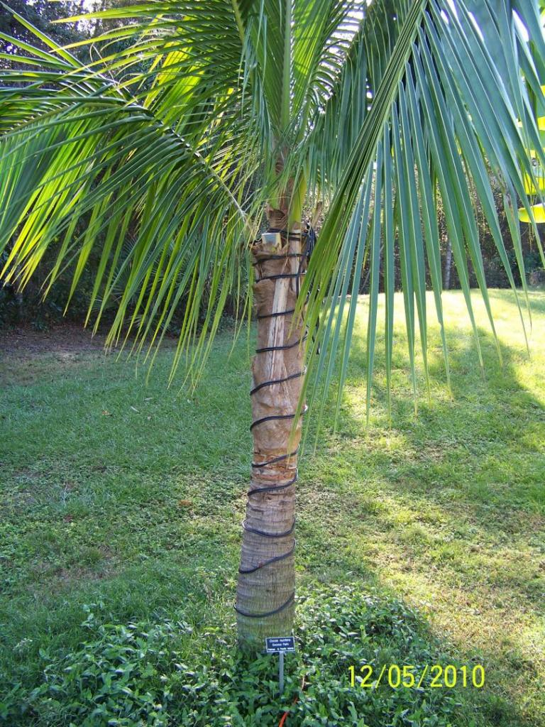 Cocos nucifera with heating cables.jpg