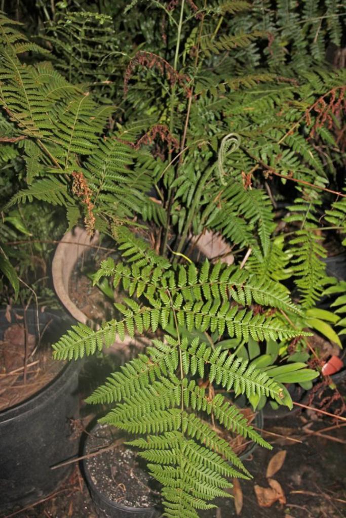 ctenitus sloanei1.jpg