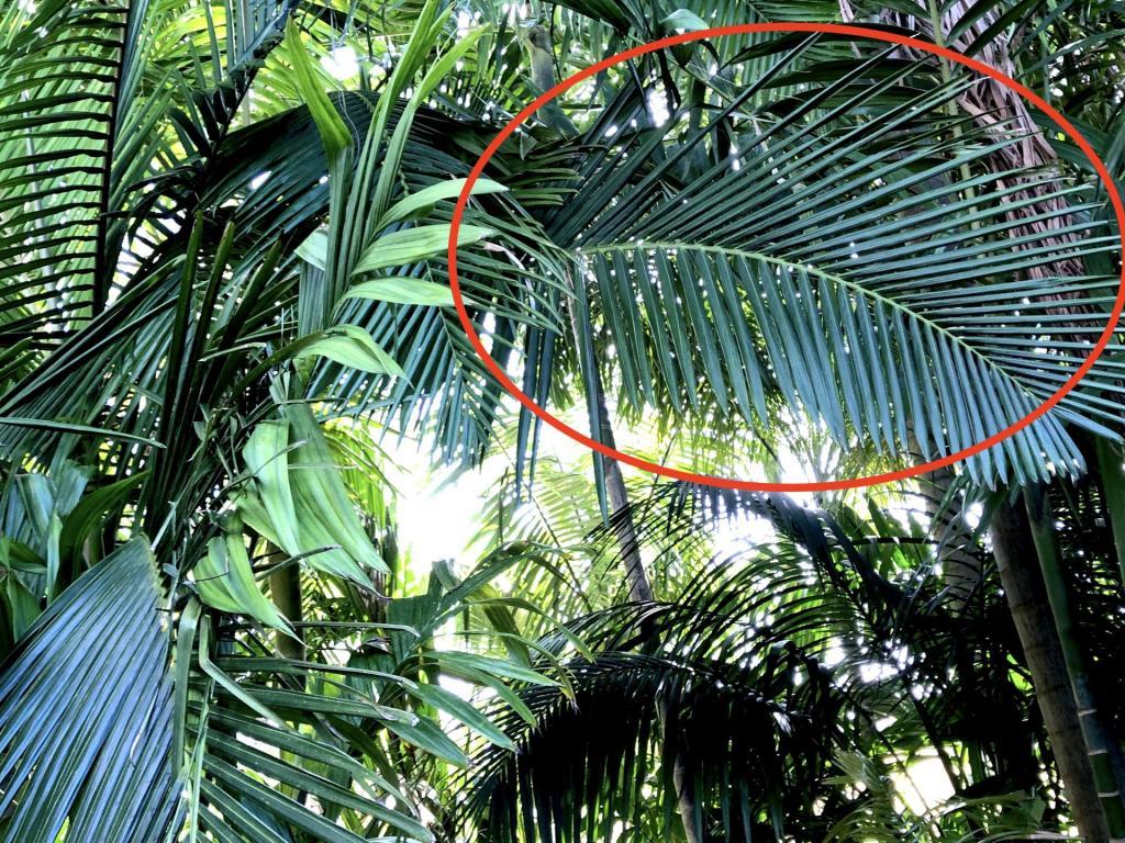 972527362_JungleMysteryPalm0601-01-21.thumb.JPG.f49c6bc59d81dc15d36b673f40cfb2a8.JPG