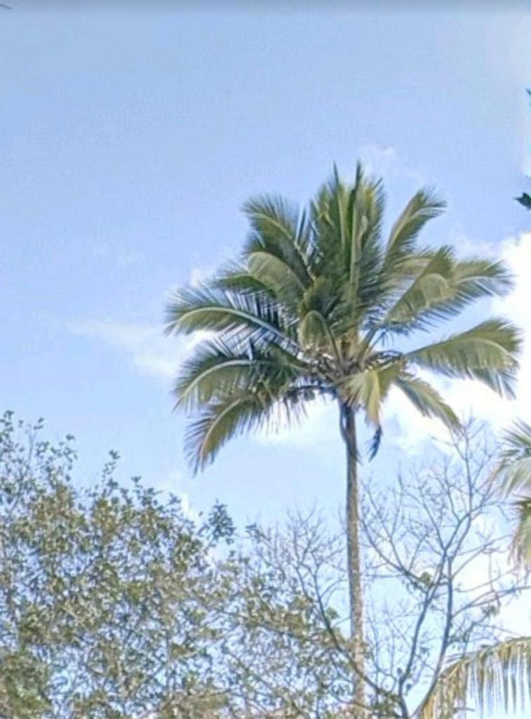 coconut.thumb.jpg.439befa408336742d1d11276b63e8e41.jpg