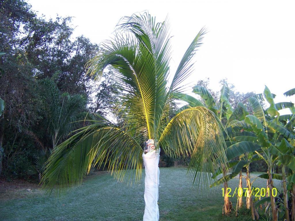 Coconut palm trunk wrap 12-07-10.jpg